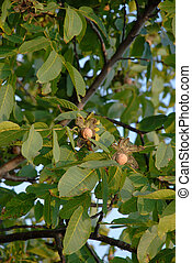 Ripe walnut on tree - ripe walnut in opened shell over tree...