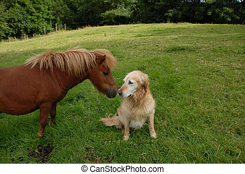 Shetland pony and golden retriever nose to nose