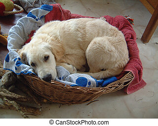 Golden retriever puppy curled up in basket