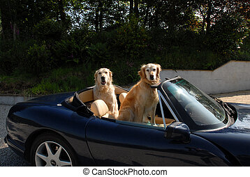 two golden retrievers in sports car
