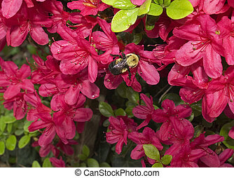 A bee gathers nectar from an Azalea bush in the springtime