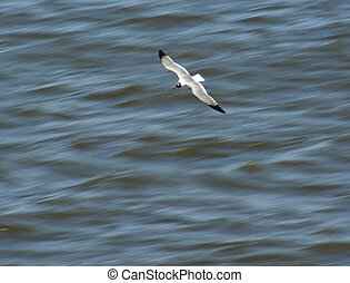 A Seagull skims along the waves