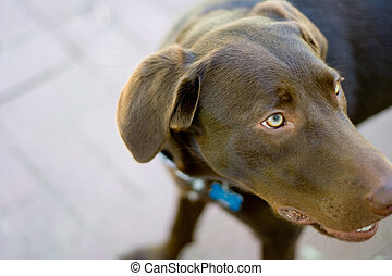 Chocolate Lab - Dog