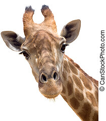 Giraffe closeup - Close up shot of giraffe head isolate on...