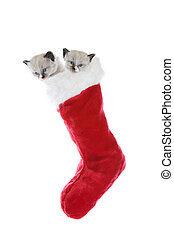 Kittens In A Sock - Two purebred, Snowshoe Lynx-point...