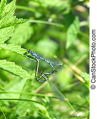 Common Blue Damselfly Enallagma cyathigerum mating