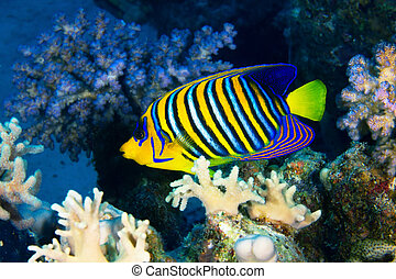 Royal angelfish (Pygoplites diacanthus) in the Red Sea,...