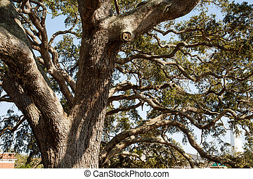 Live Oak Tree - A huge ancient live oak tree in sun dappled...