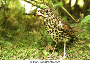 Little bird thrush - Little bird thrush is on the ground...