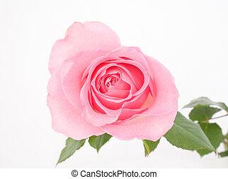 Pink Rose - Macro of a Pink Rose