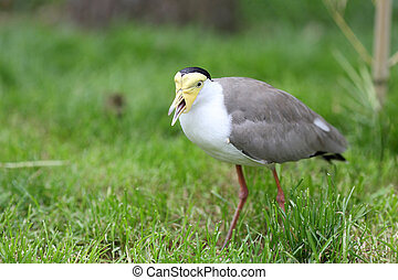 Masked lapwing, vanellus miles - Details of a masked lapwing...