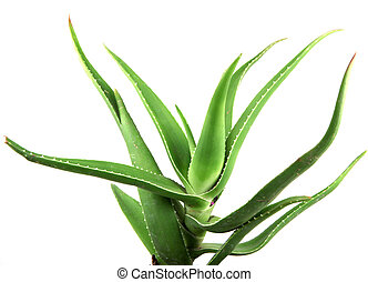 aloe vera leaves detailed