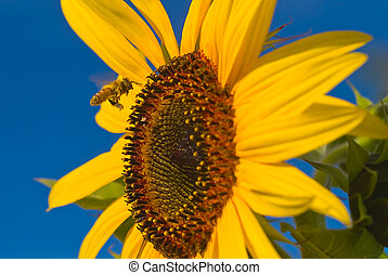 Coming in for a Landing 1 - A honeybee flying to a sunflower...
