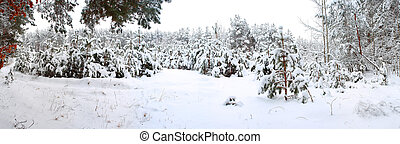 Winter forest - The panorama of winter forest in the evening...