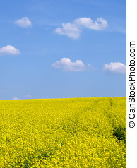 Colza - Yellow Canola field in spring.