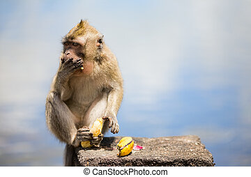Wild Monkey - Wild cute little monkey eating banana
