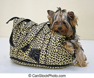 Dog in a bag - yorksheer terrier in the spotty bag