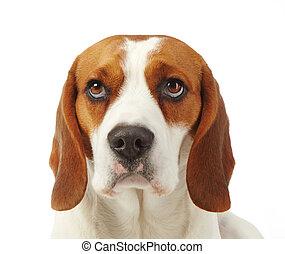 Retrato, jovem, cão, beagle
