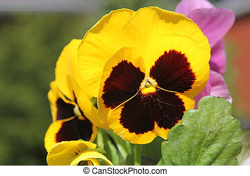 Pansy Flower - Bright Pansy flowers ready to transplant into...