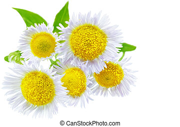 A lot of White camomiles Isolated on a white
