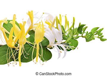 Flowering white-yellow Honeysuckle(Woodbine).Isolated -...
