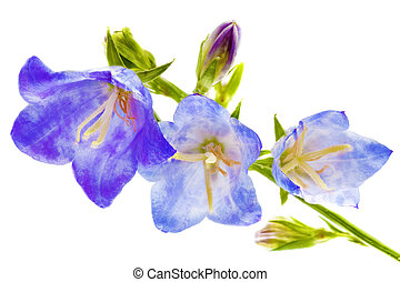 Bluebell on the white background. Close-Up.Isolated