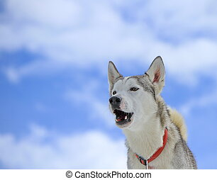 Siberian husky dog barking - Siberian husky dog wearing red...
