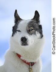 Porträt, hund, sibirisch, heiser