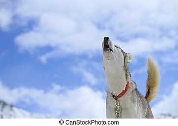 Siberian husky dog howling - Siberian husky dog wearing red...
