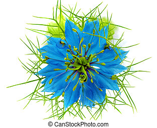 Nigella damascena on white background Isolated Close-Up