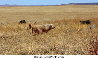 Large herd of pigs on pasture in th