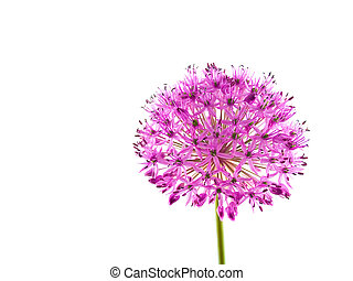 Allium Purple Sensation Flower 2 - A purple bloom about the...