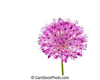 Allium Purple Sensation Flower 2 - A purple bloom about the...