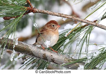 Field Sparrow (Spizella pusilla) On A Snow-covered Branch -...