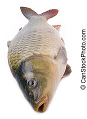 carp close up isolated on white background