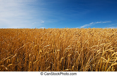 Field of wheat - A field of golden wheat and blue sky