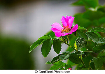leaves of wild rose pink summer flower green background...