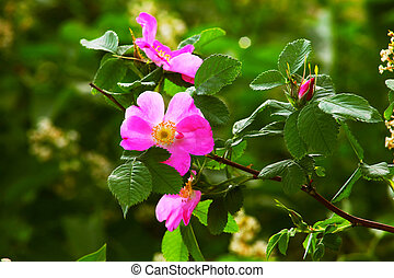 leaves wild rose pink summer flower green background...