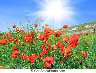 Red poppies on a green meadow