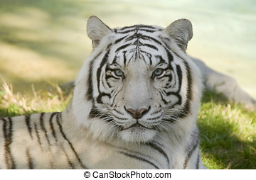 Amur Tiger - Closeup of Amur Tiger (Panthera tigris altaica)