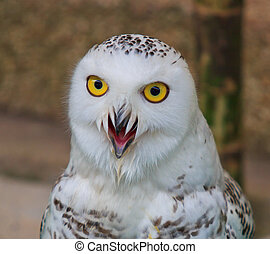 portrait of a beautiful snow owl