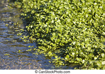 Watercress Growing In Bed - Fresh Watercress Growing In Bed