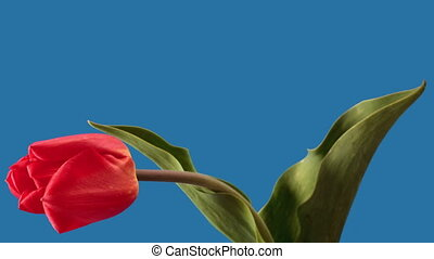 Red tulip on blue background-timelapse, includes an alpha...