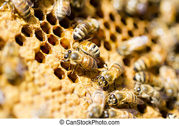 Beekeeping - Bees working on honeycomb