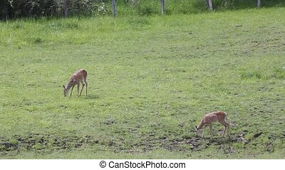Whitetail Doe's Eating - These two Whitetail doe's are...