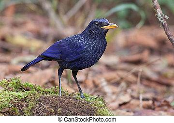 Blue Whistling Thrush Bird.