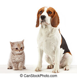 sitting beagle dog - beagle dog and british kitten on white...