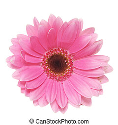 Pink Daisy - Pink gerbera daisy isolated on white