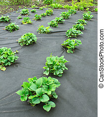 Strawberry bed, covered spanbond