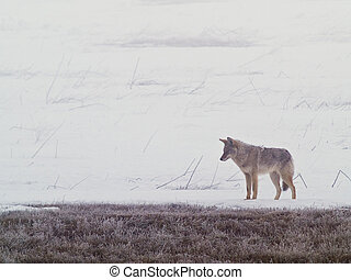 Coyote of the West Plains 2 - A coyote walks on the frozen,...